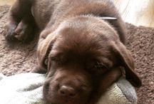 Labrador Sammy