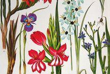 Botanical prints / Flowers