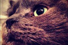 Shamaya / This is my awesome Shamaya, a Nebelung cat ^_^