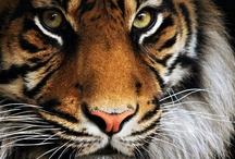 tigers / by Dara Harvey