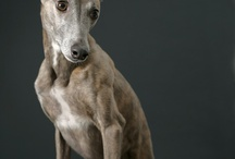 Whippets & other Greyhounds