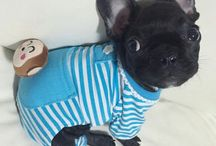 like my future little french puppy