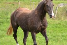 Rocky Mountain Horse / Pictures of Rocky Mountain horses