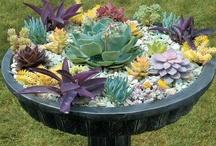 sukulenty ogród