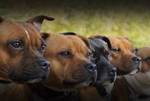 Staffordshire bull terriërs of Staresma staffs / Our pack :-)