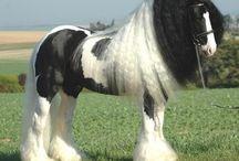 L'Irish Cob / Élevé en Irlande, en Angleterre, en Allemagne, en France, aux États Unis et en Australie, l'Irish Cob est une race, dont une variante du nom de Gypsy Cob existe en Angleterre, qui a de nombreux synonymes, elle peut effectivement être appelée le Cob Irlandais, mais aussi le Tinker, le Vanner, le Gypsy Vanner, Gypsy Horse, le Traditionnal Cob, ces nombreuses appellations portent d'ailleurs souvent à confusion.