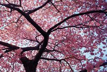 Cherry Trees / Need help identifying a tree? Dreaming of your dream garden or landscaping project? Or do you just love the spectacular spring splendor of cherry trees? We've got you covered.