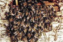Bijengif / Bijengif is nuttig om belagers af te schrikken voor de bij zelf. Het bijengif is een vorm van apitherapie, een natuurlijke geneeswijze. Voor de mens zijn er verschillende behandelingen waarbij bijengif kan helpen. Reumatische behandelingen worden vaak gedaan met bijengif. www.apitherapie.nl