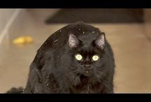 Funny Cat Videos by ShoKo / Funny Cat Videos featuring Shorty and Kodi!