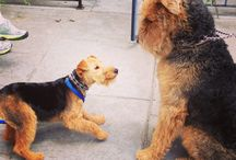 Airedale Terriers!