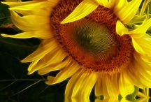 Sunflowers make me smile