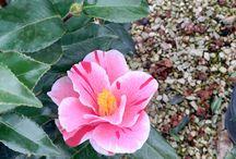 Camellia japonica Oki No Nami