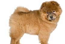 Chow Chow / The Chow Chow originated over 2000 years ago, making it an ancient breed of dog. The oldest known fossils of dogs are very similar in appearance to Chow Chows and date back several million years. It is unclear whether the Chow Chow originates from Siberia or China. See more at: http://www.noahsdogs.com/m/dogs/breed/Chow-Chow#sthash.TIvBHR2N.dpuf www.NoahsDogs.com