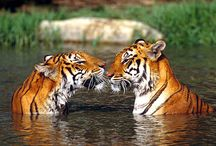 Tiger's Eye / Tiger photos / by Jacque (j.ajabad) A