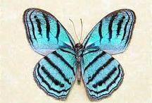 Perú butterflies