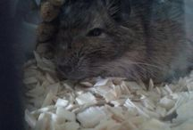degus / Hier is my degus pictures:)