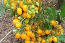 рассада помидоров и т д