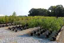 15 Gallon Containers / We are now offering our favorite varieties in 15 and 25 gallon containers. For more information on availability visit www.huntertrees.com