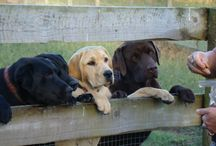 My Labradors / A board of my  labradors past and present.