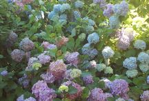 all the colors of hydrangeas / see also:  http://pilusgiardiniere.blogspot.it/