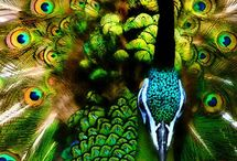 Peacock Green Bird