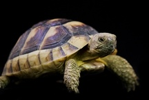 Tortoises & Turtles / We love tortoises at Evolution Reptiles and are able to advise you on how to keep them correctly.
