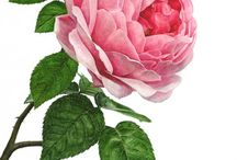 Розы (картинки)