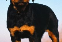 The rottweiler lover / Rottweilers