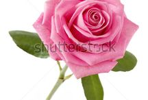 Rose Reference images