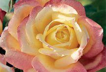 beauty of roses  / by Caroline