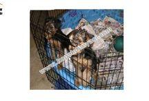 Airdele Terrier / Airdele Terrier