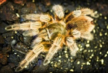 Spiders & Tarantulas / Some of our favourite spider links!  Get more information on spiders here; http://www.reptilecentre.com/files_spiders