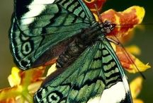 Borboletas/Butterfly