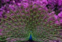 All things peacock! / by Pam Leslie Johnson