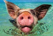 Bahama piggies