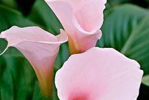 flori cale
