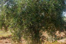 L'olivier / Voyage au cœur des oliveraies du Haut Atlas marocain...