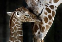 キリン Giraffa