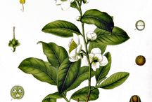 Tea Tree Art / The tea tree plant is celebrated throughout history. Check out some of the beautiful works dedicated to Camellia sinensis.