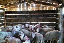 Swiniarka sheep