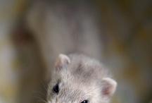 Ferrets for pets /  Ferrets: http://www.planetgoldilocks.com/pets.htm  Ask our Vet??? - Pet RX organic - Call 888-842-2963 - Vetionx Pet Health