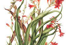 Scientific Illustration - Floral