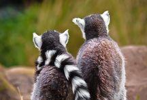 Lemur Love / My favorite animal. Ever.