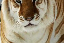 Lwy i Tygrysy