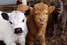 cute cow collection