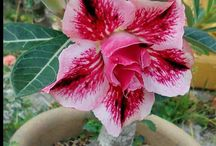 trandafirul desertului