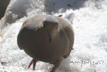 Mourning Doves I Know (Not from my Garden!)
