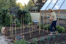 How to grow dahlias / Types of dahlias, light, soil, staking