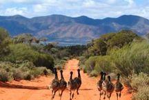 Birds - Emus/Cassowaries/Ostriches