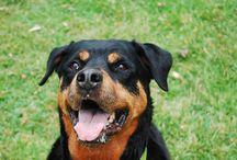 Rottweiler / Una raza fuerte, fiel y la más entretenida